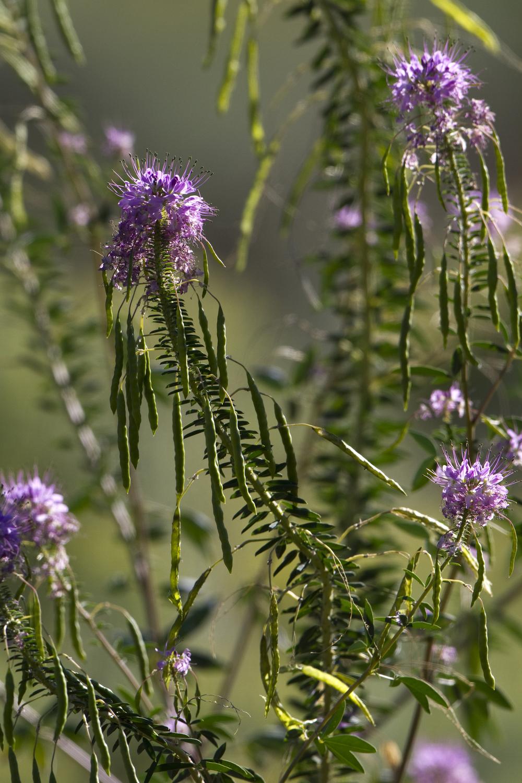Rocky Mountain beeplant (Cleome serrulata) (2).jpg