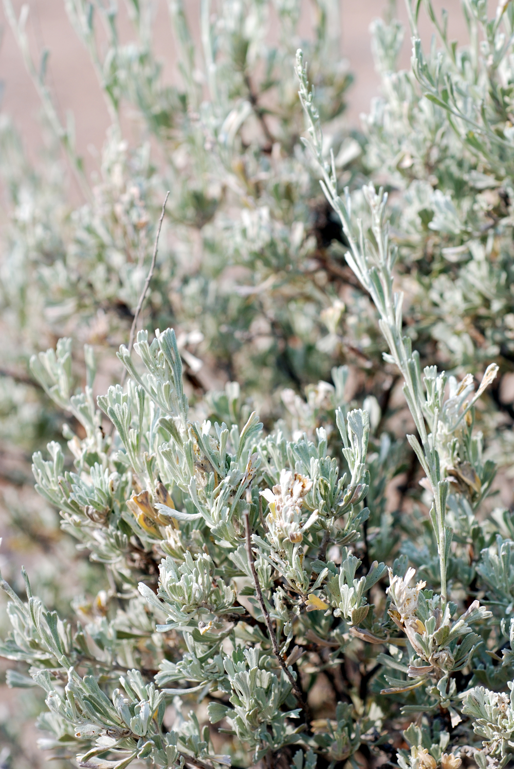 Basin big sagebrush (Artemisia tridentata ssp. tridentata).jpg