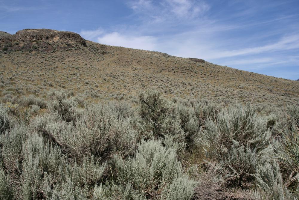 Basin big sagebrush (Artemisia tridentata ssp. tridentata) (2).jpg