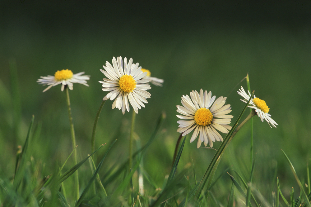 English (or Lawn) daisy (Bellis perennis).jpg
