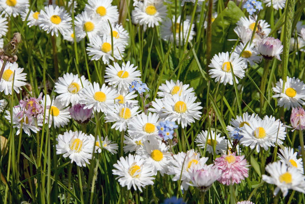 English (or Lawn) daisy (Bellis perennis) (3).jpg