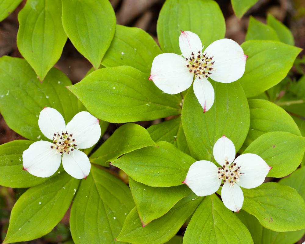 Bunchberry (Cornus canadensis).jpg