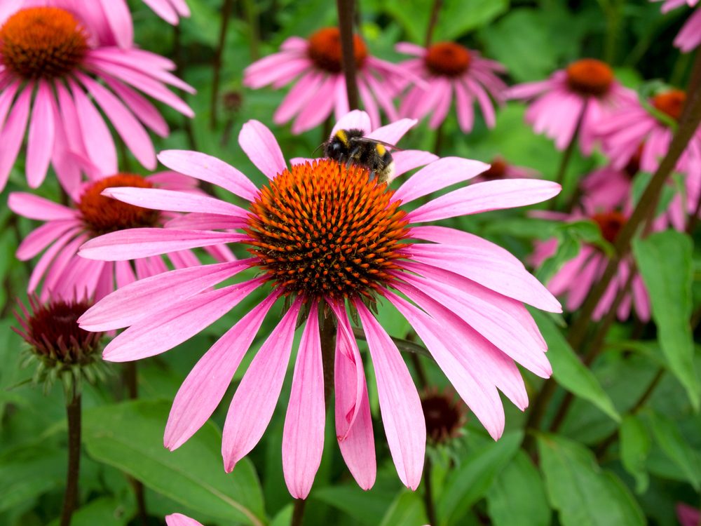 echinacea purpurea purple coneflower l h seeds. Black Bedroom Furniture Sets. Home Design Ideas