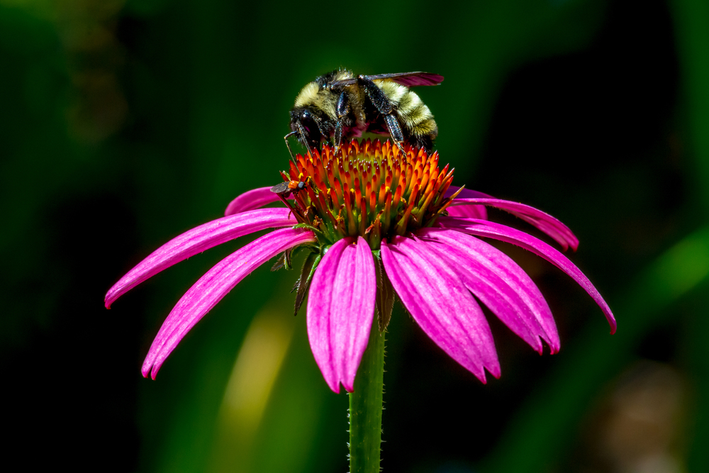 Purple coneflower (Echinacea purpurea) (2).jpg