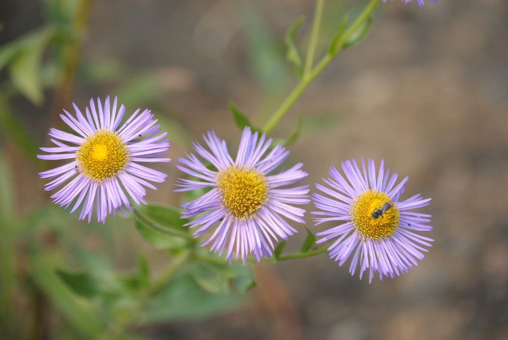 Erigeron speciosus (Aspen daisy).jpg