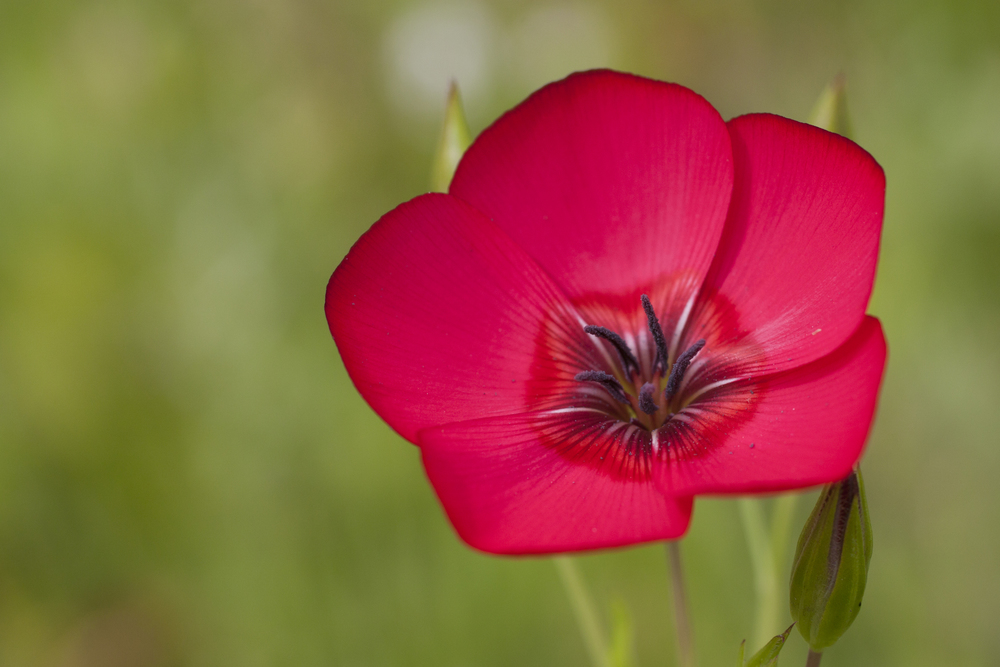 Scarlet flax (Linum grandiflorum).jpg