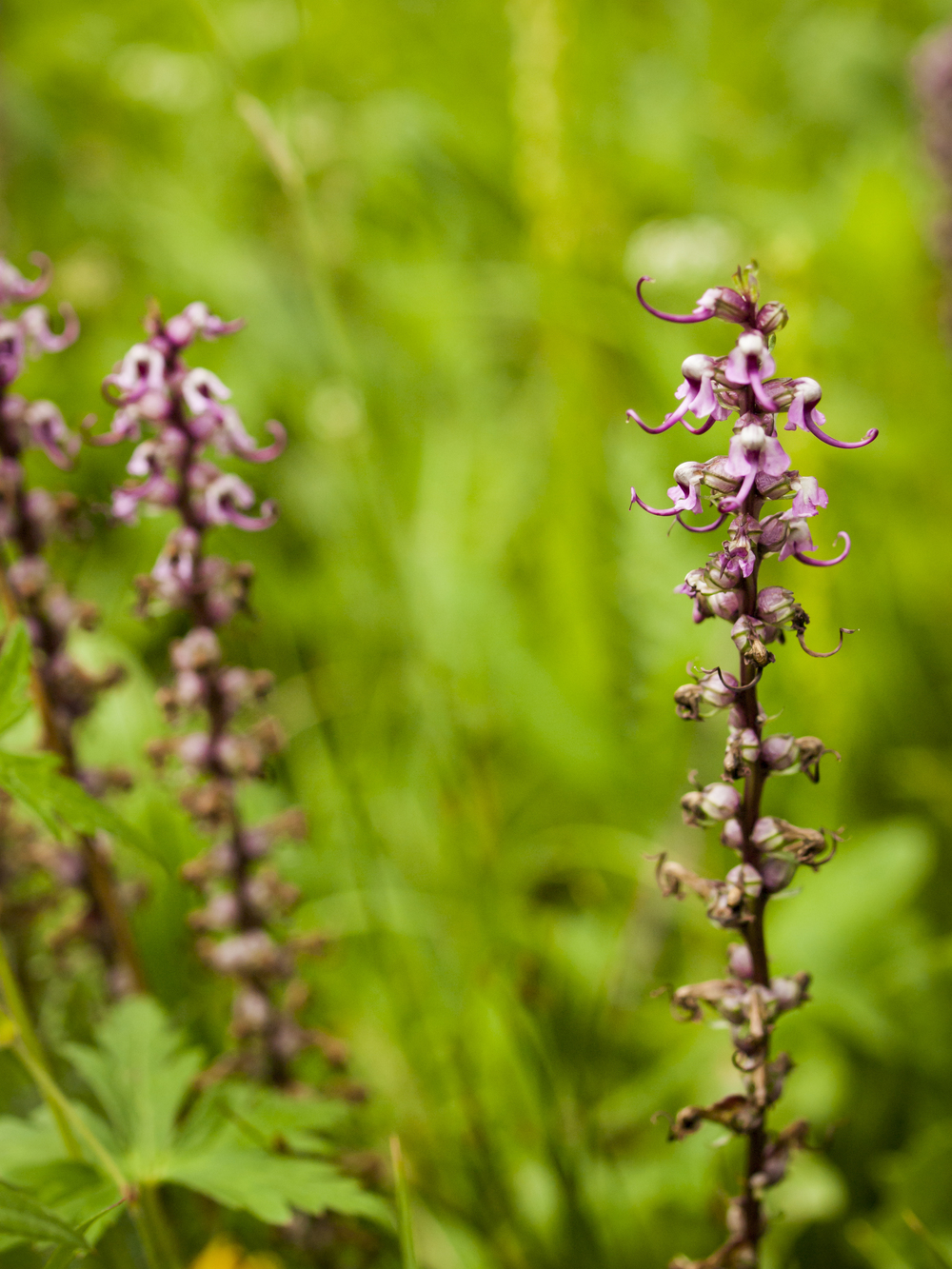 Pedicularis groenlandica (Elephanthead lousewort).jpg