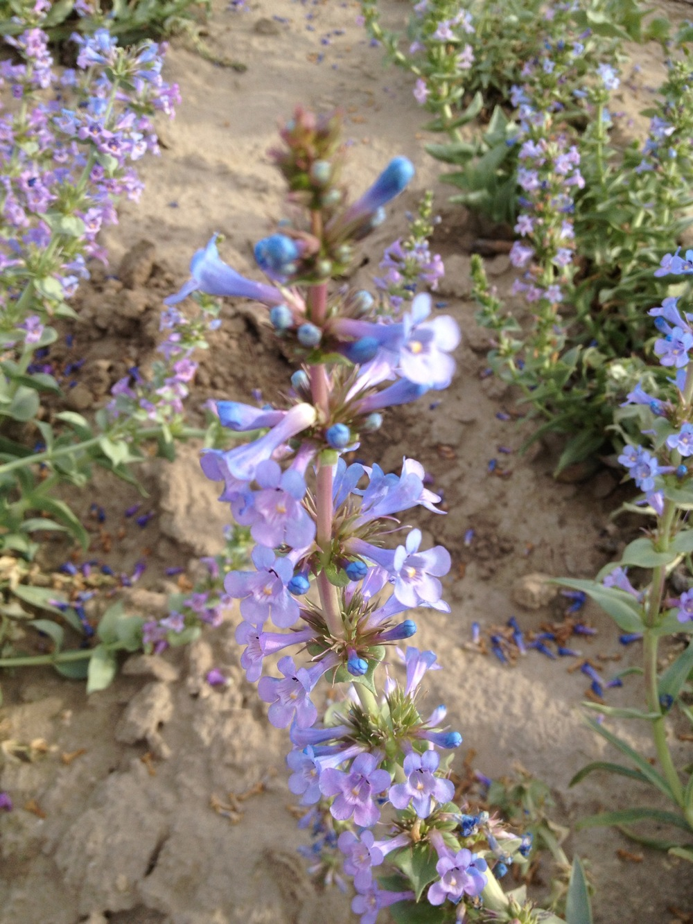 Penstemon acuminatus (Sharpleaf penstemon) (5).jpg