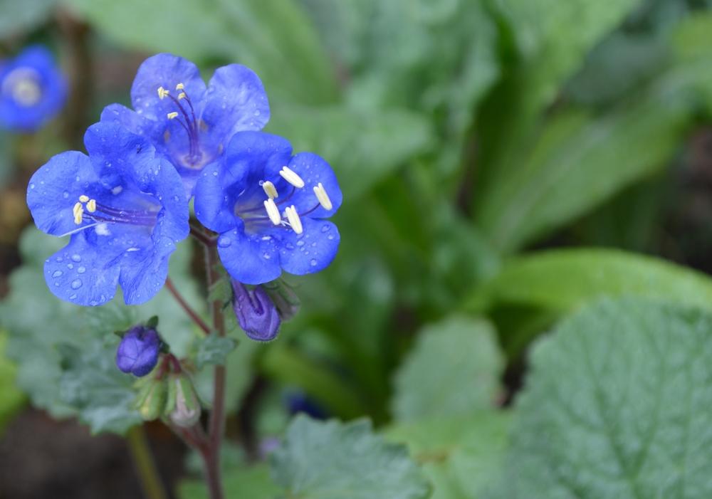 Bluebells (Phacelia campanularia).jpg