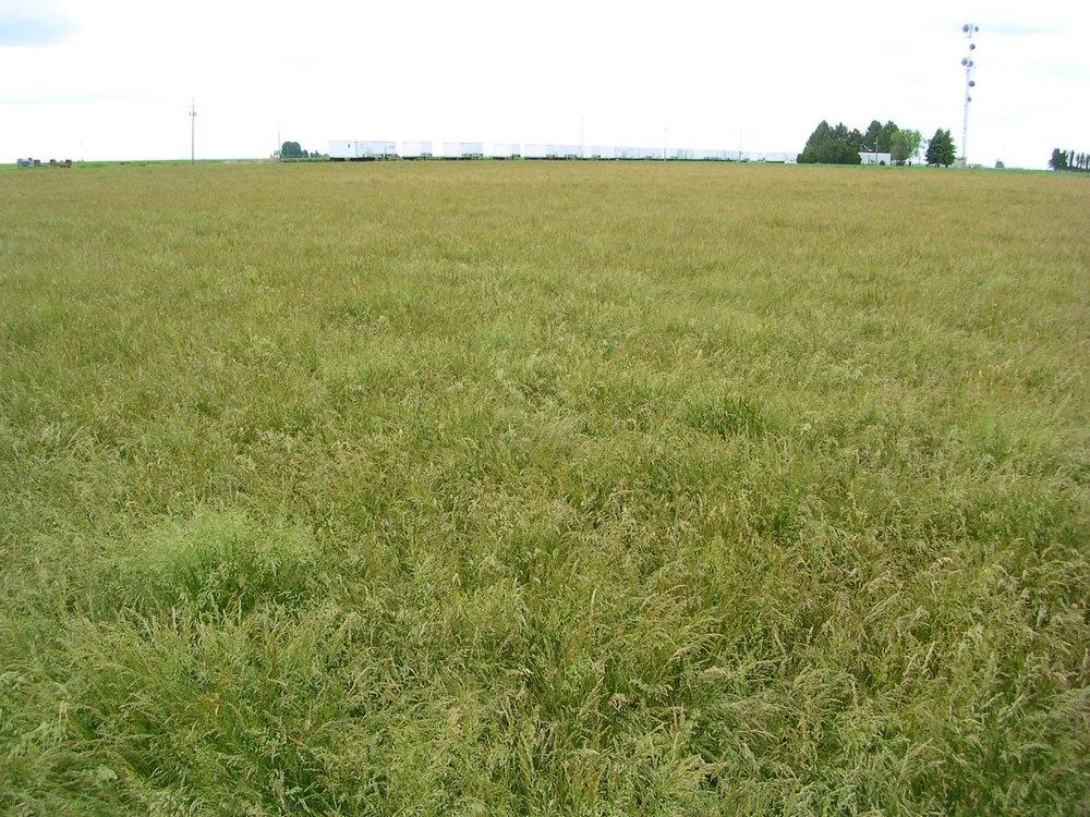Poa secunda ssp sandbergii (Sandberg bluegrass) (2).JPG