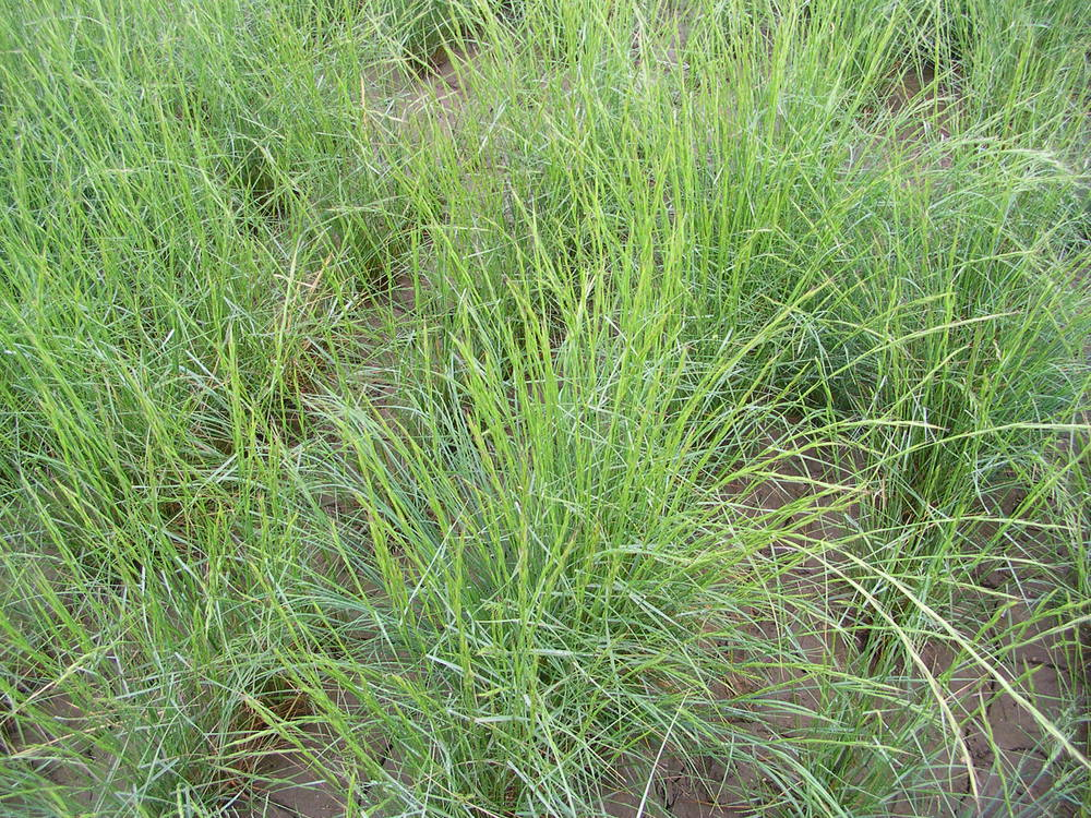 Pseudoroegneria spicata ssp spicata (Bluebunch wheatgrass).JPG