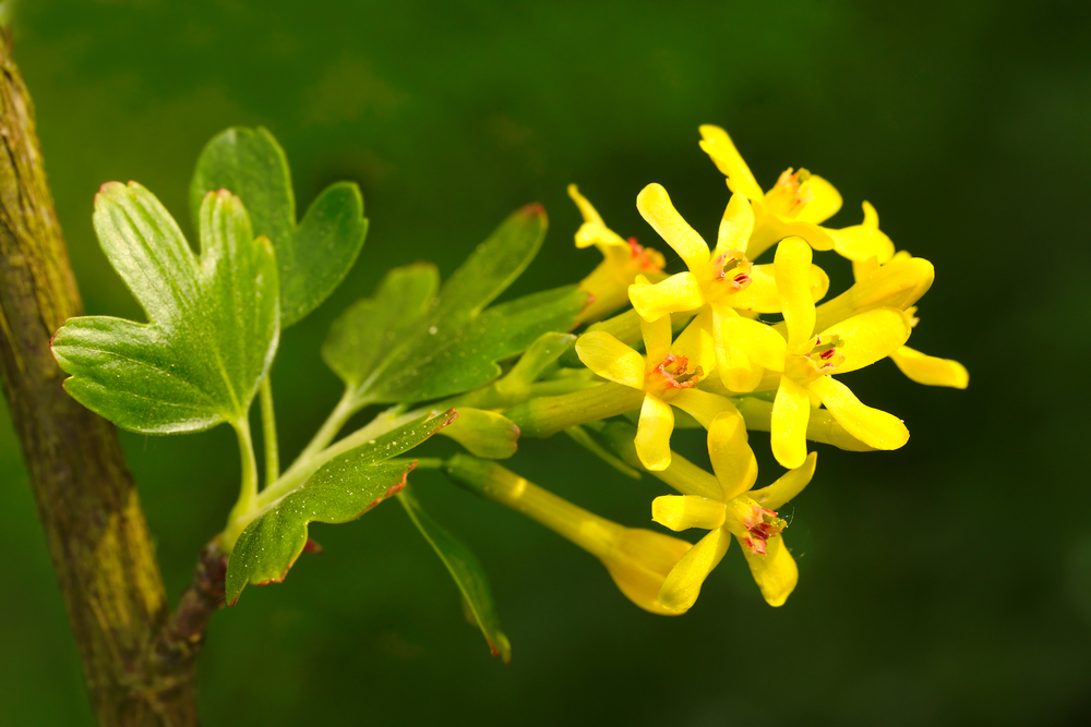 Golden currant (Ribes aureum).jpg