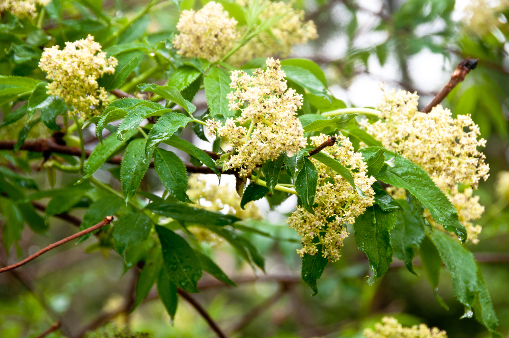 Sambucus racemosa (Red elderberry).jpg