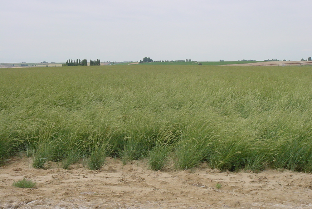 Arriba Pascopyrum smithii (Western wheatgrass).JPG