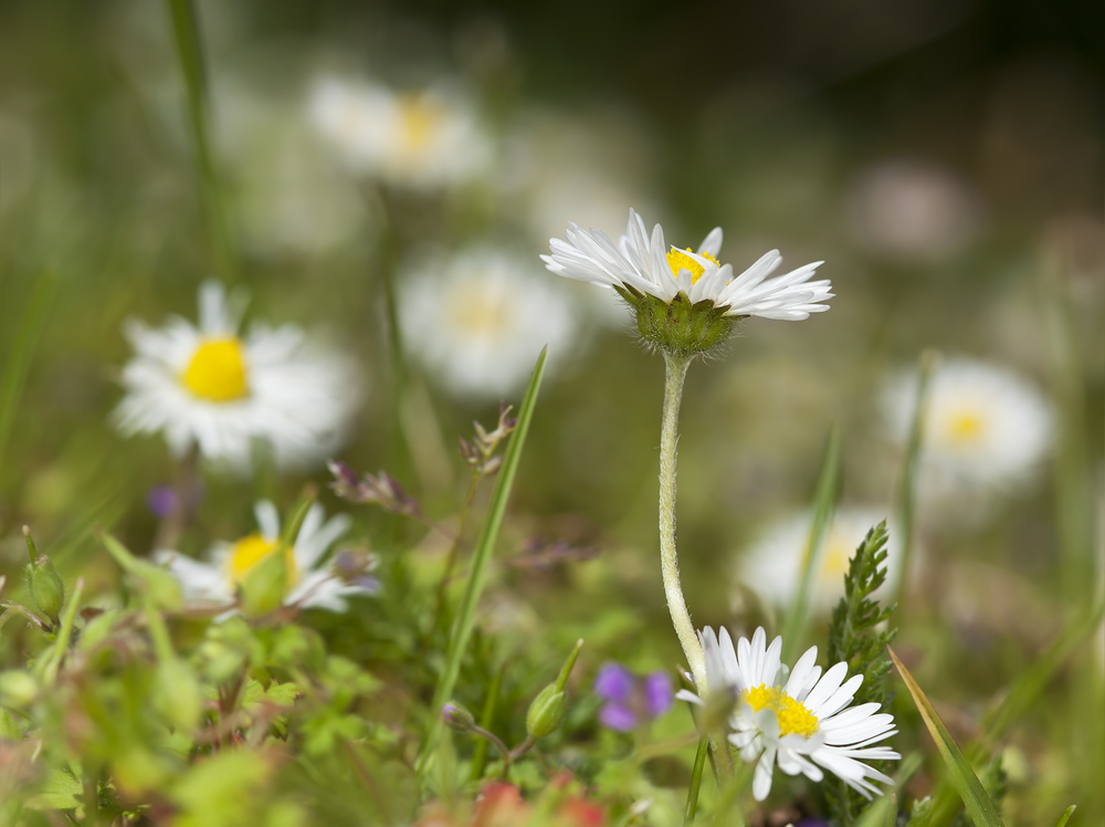 English (or Lawn) daisy (Bellis perennis) (4).jpg