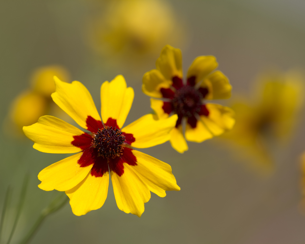 Coreopsis tinctoria (Plains coreopsis).jpg