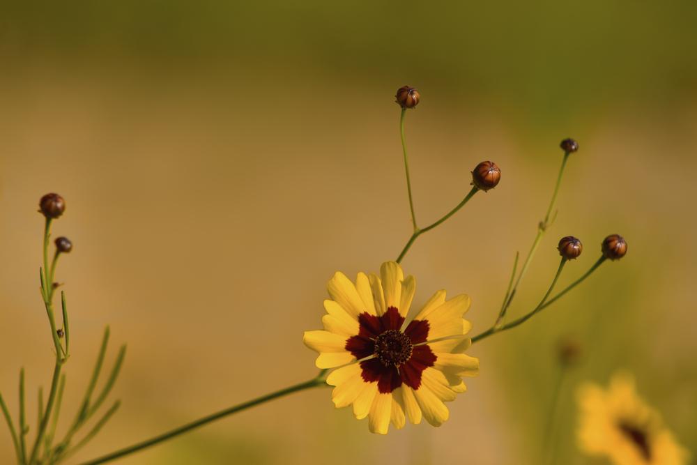 Coreopsis tinctoria (Plains coreopsis) (2).jpg