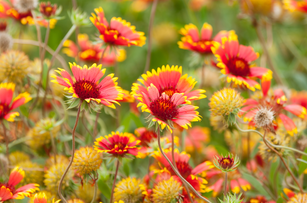 Gaillardia pulchella (Firewheel).jpg