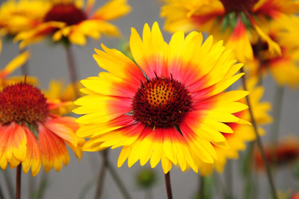 Gaillardia aristata (Blanket flower)