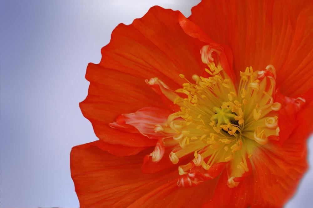 Papaver nudicaule (Iceland poppy) (3).jpg