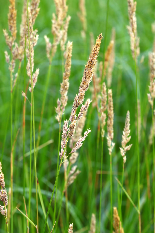 Phalaris arundinacea (Reed canarygrass).jpg