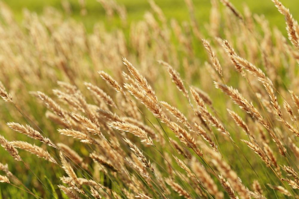 Phalaris arundinacea (Reed canarygrass) (2).jpg