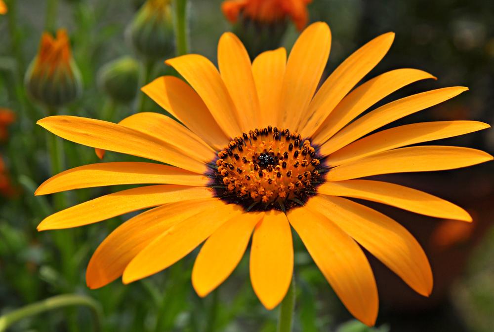 African daisy (Dimorphotheca sinuata).jpg