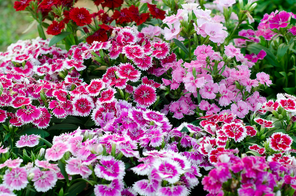 Sweet William (Dianthus barbatus).jpg