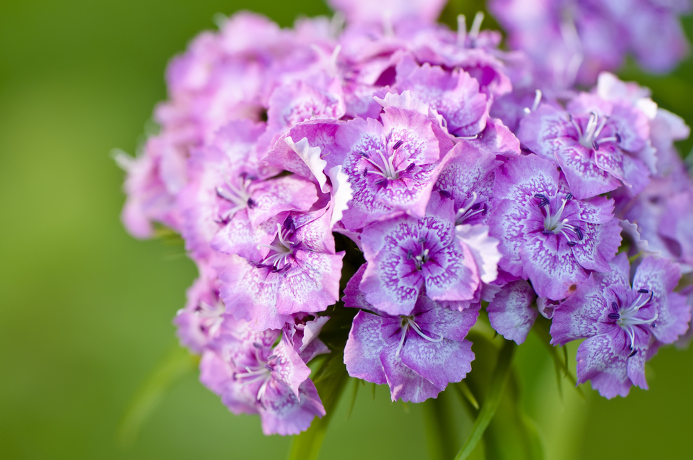 Sweet William (Dianthus barbatus) (3).jpg