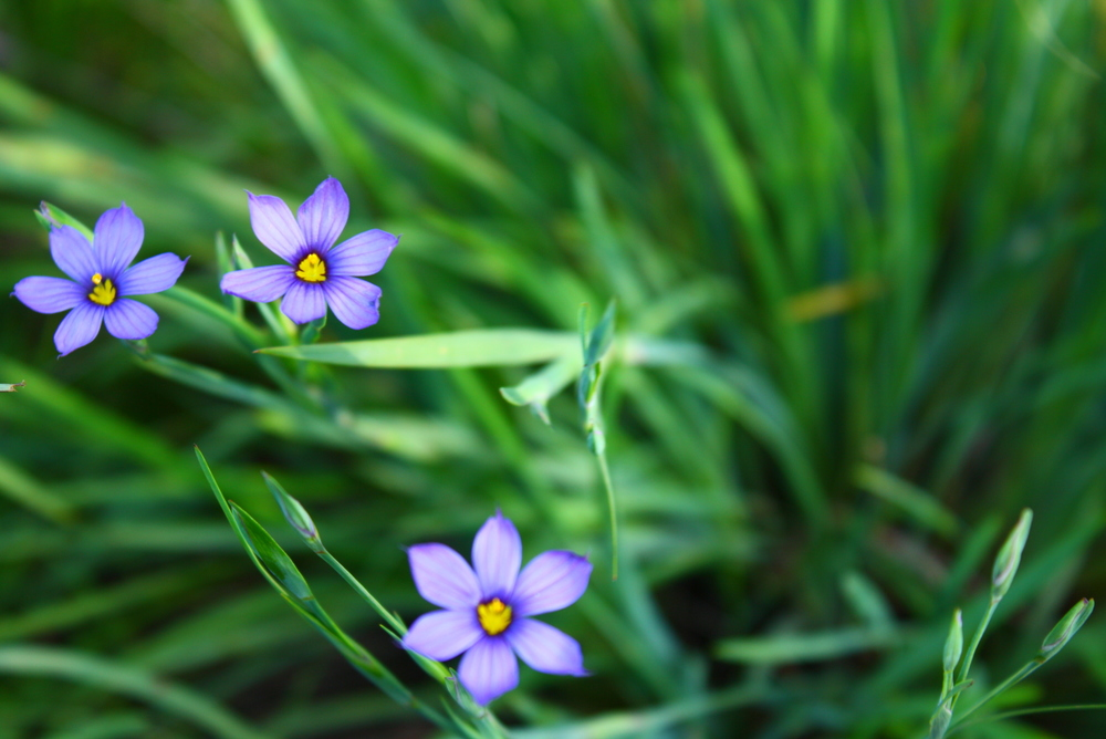 Blue-eyed grass (Sisyrinchium bellum).jpg