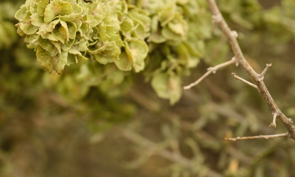 Atriplex canescens (Fourwing saltbush).jpg