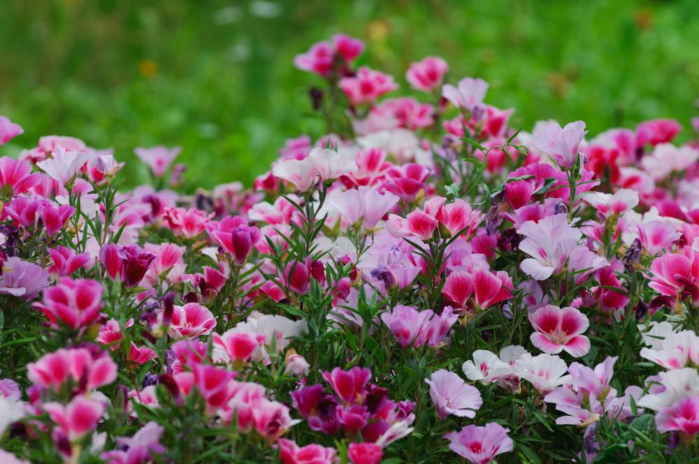 Clarkia amoena (Farewell-to-spring) (2).jpg
