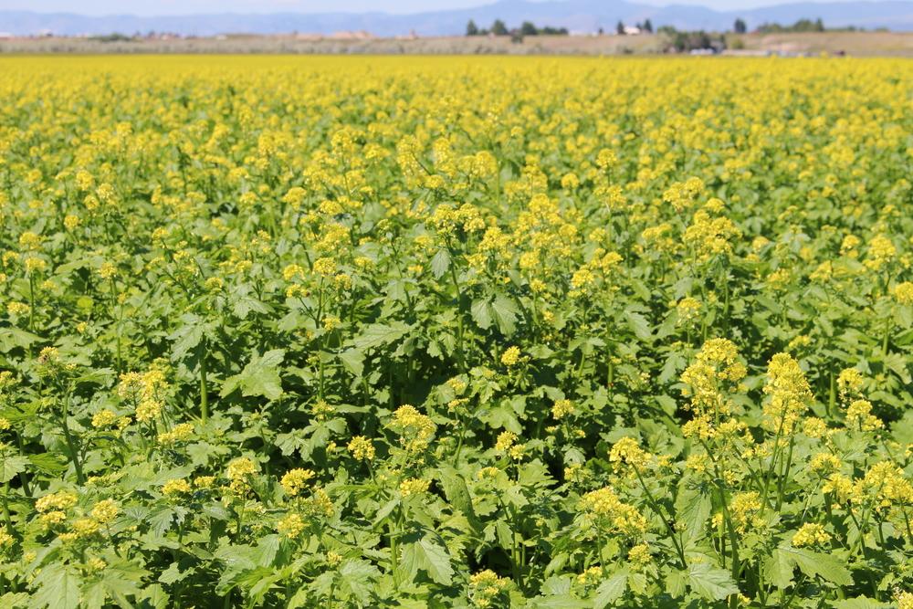 'Martigena' White mustard field
