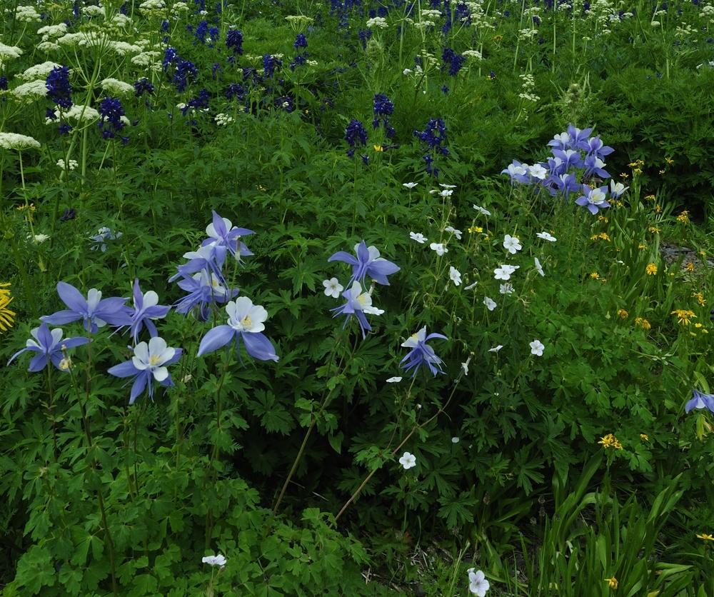 Colorado blue columbine (Aquilegia coerulea).jpg