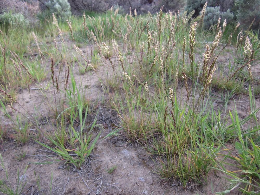 Sandberg bluegrass (Poa secunda ssp. sandbergii).JPG
