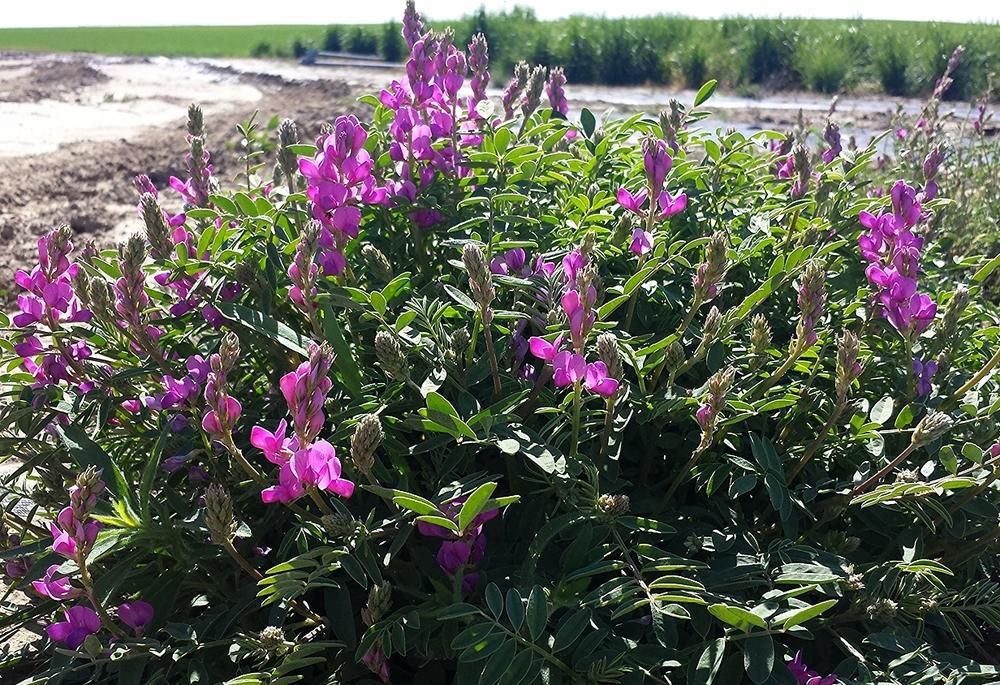 Hedysarum boreale (Northern sweetvetch) 6.jpg