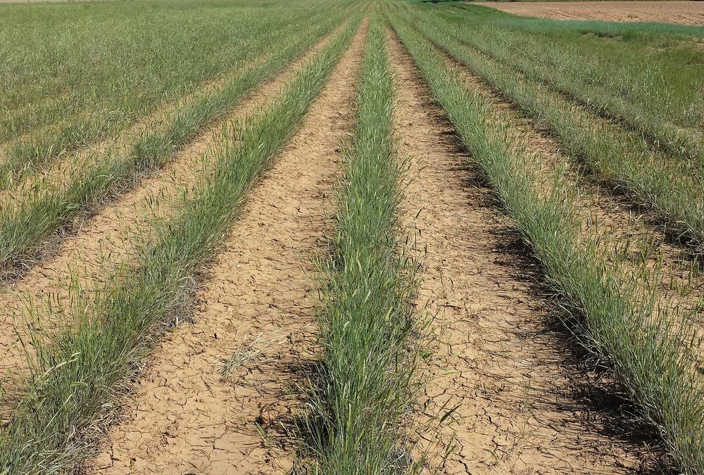 Stabilizer Siberian wheatgrass.jpg