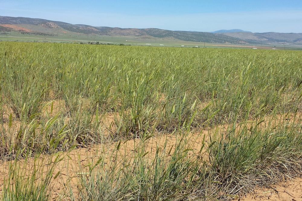 Stabilizer Siberian wheatgrass 2.jpg