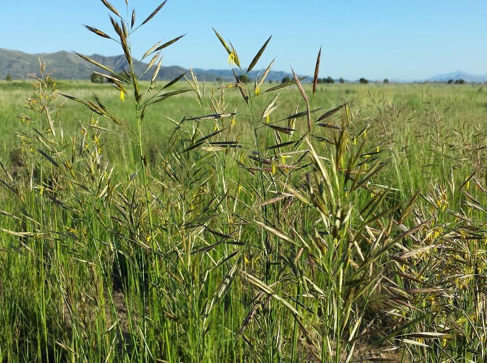 Cache Bromopsis biebersteinii (Meadow brome).jpg