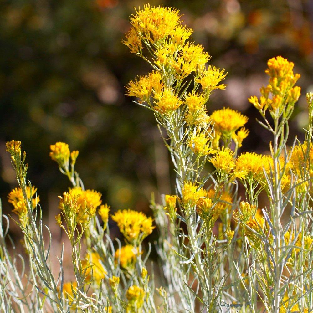 Rubber rabbitbrush (Ericameria nauseosa).jpg