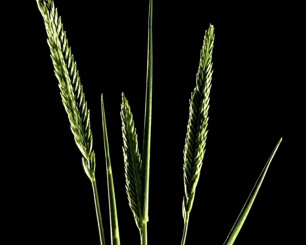 Crested wheatgrass (Agropyron cristatum).jpg