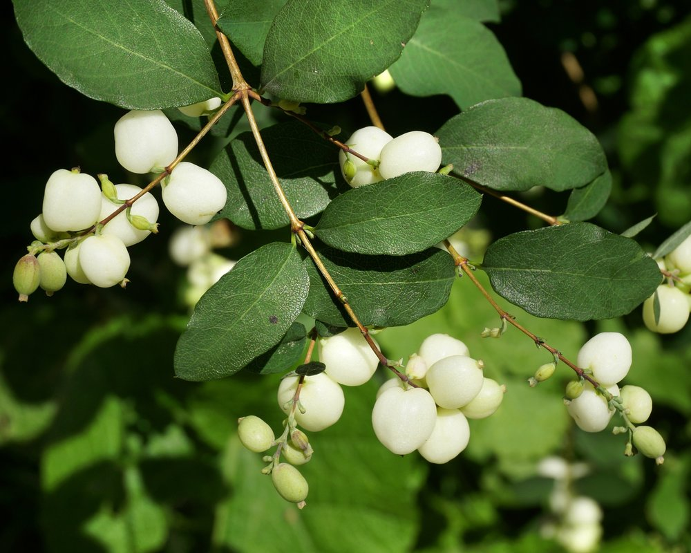 Common snowberry (Symphoricarpos albus).jpg
