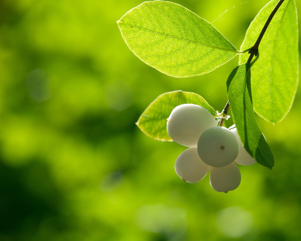 Common snowberry (Symphoricarpos albus) (2).jpg