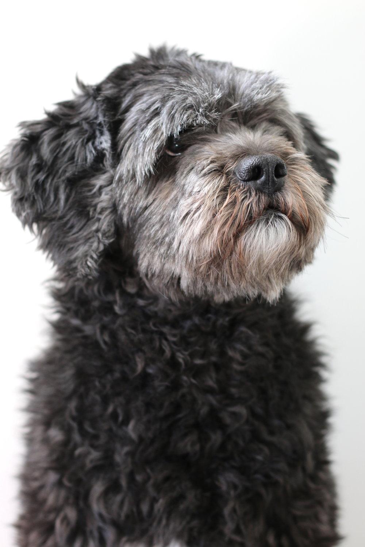 Valle  Kontorshund