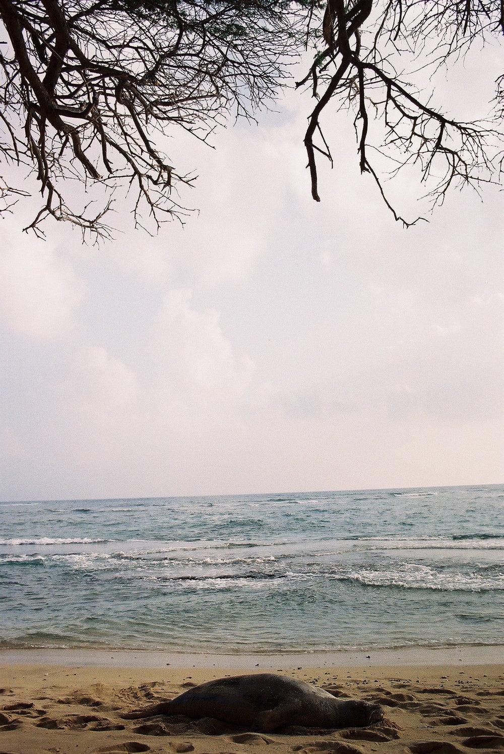 monk seal - Honolulu, HI