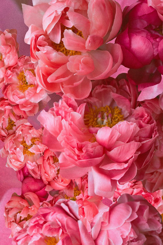 Coral Sunset Peony | Tien Austin Photography | Seattle, WA | Victorian Flower Language