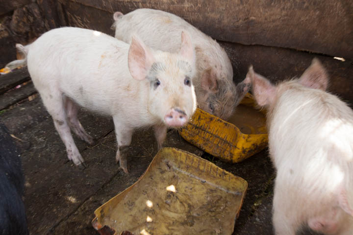 Pig Project Piglets.jpg