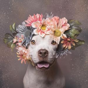 Sopgie Gamand, fotografía pit bulls