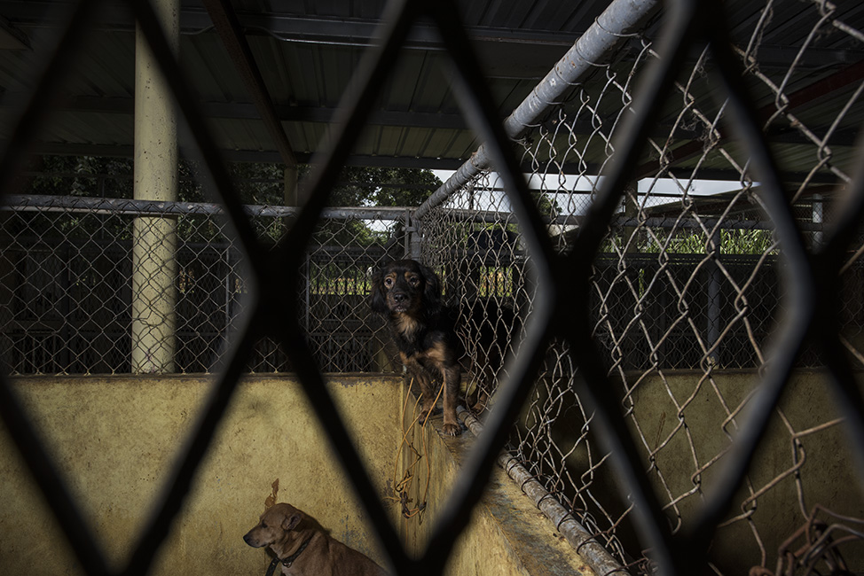 A dog sits between two kennels, through the hole in the fence that separates them.