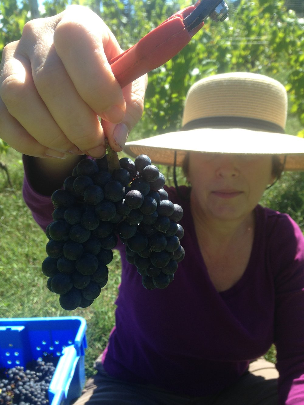 Daun holds a bunch of 2016's dark-colored, thick-skinned Pinot Noir